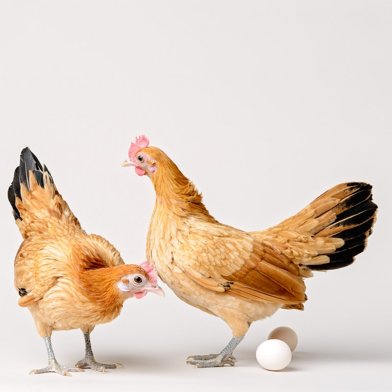 Photo of two nankin bantam chickens with eggs on white background