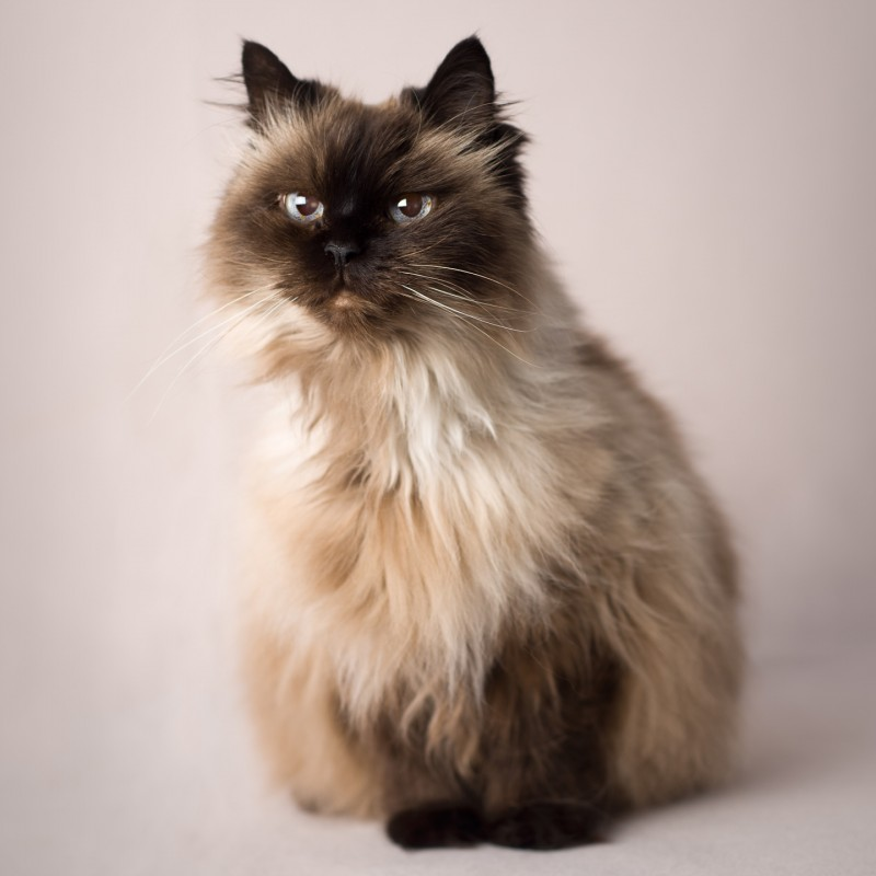 studio photo of Himalayan cat on a pink background