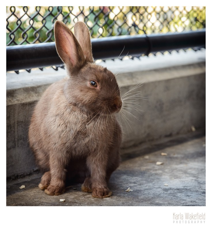 photograph 1 of a pet rabbit at the Delta Community Animal Shelter named Wiggles