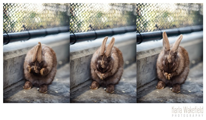 photograph 2 of a pet rabbit at the Delta Community Animal Shelter named Wiggles