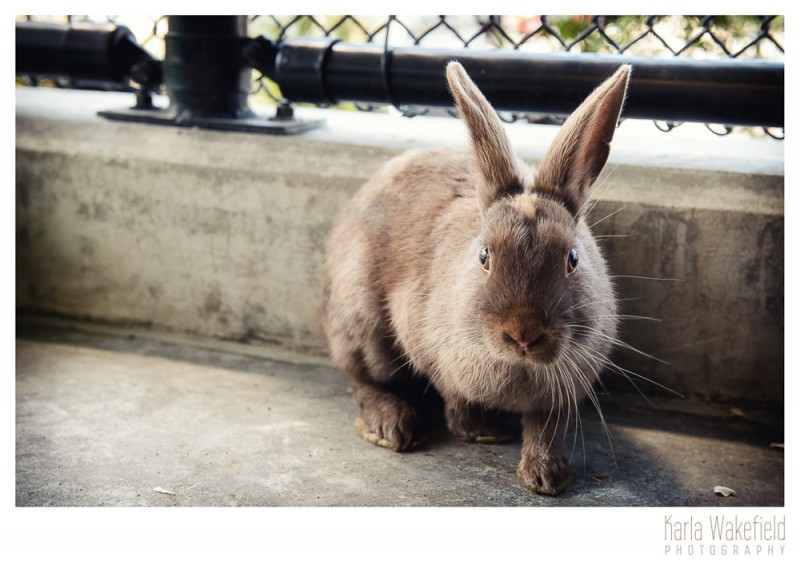 photograph 6 of a pet rabbit at the Delta Community Animal Shelter named Wiggles
