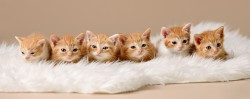 Six orange and white kittens all named after desserts