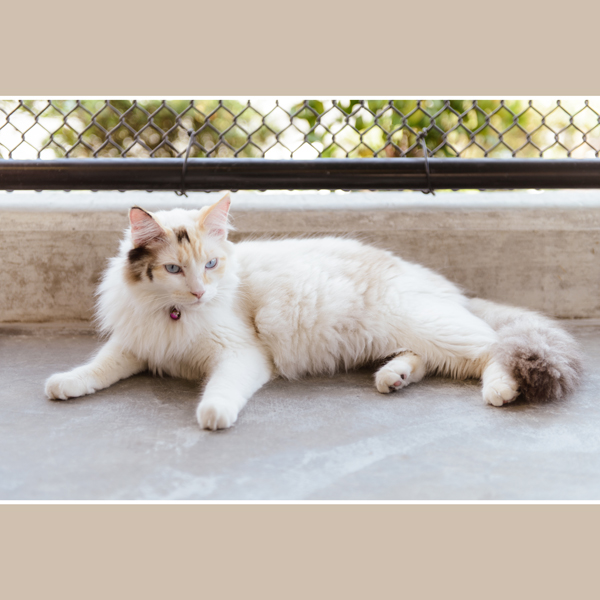 Photo of Pingu a white and calico cat at the Delta shelter
