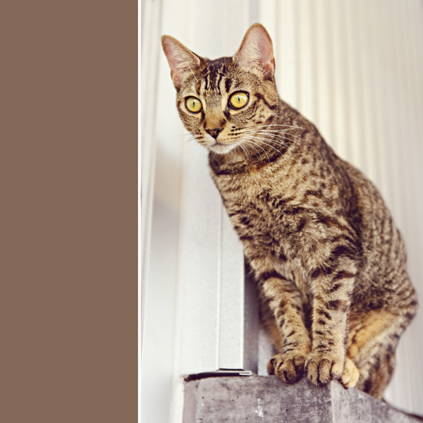 Photo of Meeka a tabby cat at the Delta shelter