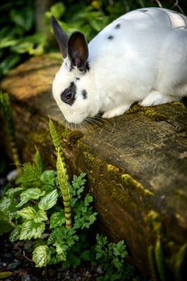 Photograph of a white and black bunny rabbit sitting on a log