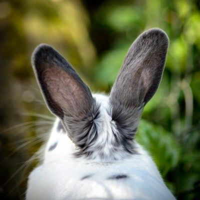 Photograph of the back of the head and ears of a white and grey bunny rabbit