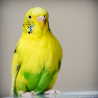 Photograph of a yellow and gree budgie
