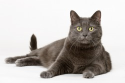 Photograph of a large grey cat on a white background
