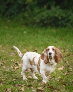 A white and brown basset hound walking in the grass