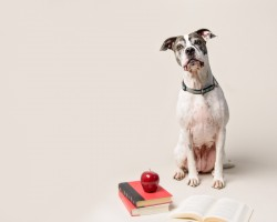 Photograph of a white and brown bull dog in front of some books and an apple on a beige background