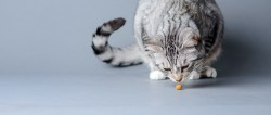 Photograph of a grey and white tabby smelling a kibble on a grey blue backgroun