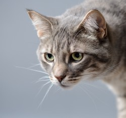Photograph of a grey tabby cat on a grey blue background