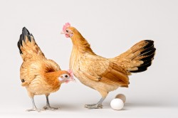 Photograph of two Nankin chickens with two eggs