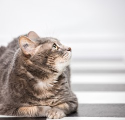 Photograph of a tabby cat looking up from a black and white checkered floor