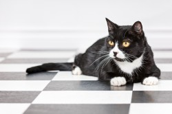 Photograph of a black and white tuxedo cat on a black and white checkered floor