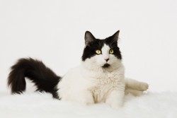 Photograph of a white and black cat on a white sheepskin and background