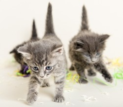 Photograph of three kittens with their tails in the air playing with ribbon