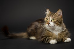 a long haired tabby and white cat on a black background