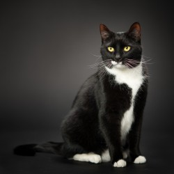 A black and white tuxedo cat photographed on a black background