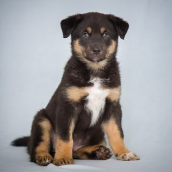 Photograph of a black, tan, and white puppy on a blue background