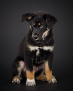 Photograph of a black, tan, and white puppy on a black background