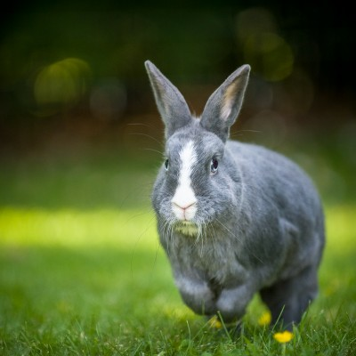 Photograph of a grey and white bunny rabbit hopping across the grass