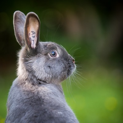 Photograph of a grey bunny rabbit on alert