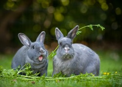 Photograph of two grey bunny rabbits eating fresh parsley