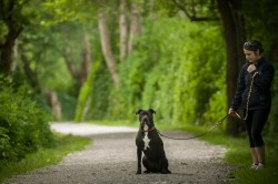 Photograph of a black with white Pit Bull Terrier Mix sitting on a park gravel path