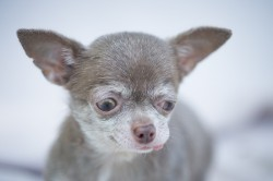 Photograph of a very tiny special needs dog