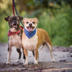 Photograph of two dogs on leashes posing together