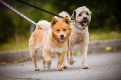 Photograph of two dogs on leashes walking down the street