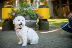 Photograph of a Bichon Frise on a sidewalk in front of a floral planter