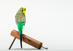 Photograph of a blue green and yellow budgie on a white background