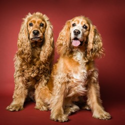 Photograph of two cocker spaniel dogs on a red background